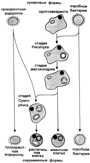происхождения митохондрий